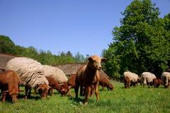 Neugeborenes Lamm und Schafe in der Wiese. Lizenzfreie Stockfotografie