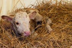 Neugeborenes 1/liegendes gesundes Kalb der 2-stündigen Stunde in der Scheune Stockfotos
