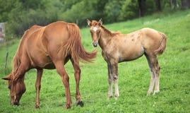 Neugeborenes Pferd steht neben Mutter Lizenzfreie Stockfotos