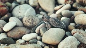 Neugeborenes Schildkrötenschleichen auf großen Steinen zum Meer Babyschildkröte, die in Richtung zum Ozean geht stock footage