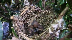 Neugeborenes Spatzenvogelbaby mit der Mundöffnung, wartend erhalten, einziehend in sein Nest an einem Garten in Thailand stock footage
