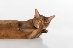 Neugierige abyssinische Katze des Porträts, die auf Boden- und Showfüßen als Faust lokalisiert auf weißem Hintergrund liegt Stockbilder
