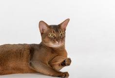 Neugierige abyssinische Katze des Porträts, die auf dem Boden liegt Getrennt auf weißem Hintergrund Lizenzfreie Stockfotografie