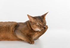 Neugierige abyssinische Katze des Porträts, die auf dem Boden liegt verärgert Getrennt auf weißem Hintergrund Stockfoto