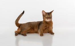 Neugierige abyssinische Katze, die auf dem Boden liegt Endstück ist oben Getrennt auf weißem Hintergrund Stockbilder