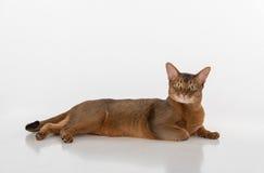 Neugierige abyssinische Katze, die auf dem Boden liegt Zur Kamera gerade schauen Getrennt auf weißem Hintergrund Lizenzfreie Stockfotografie
