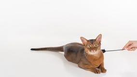 Neugierige abyssinische Katze, die aus den Grund liegt Frauenhand mit Spielzeug Getrennt auf weißem Hintergrund Lizenzfreie Stockfotos