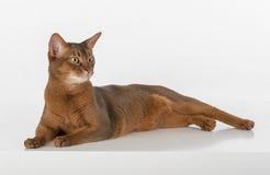 Neugierige abyssinische Katze, die aus den Grund liegt und zurück schaut Getrennt auf weißem Hintergrund Stockbild
