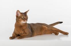 Neugierige abyssinische Katze, die aus den Grund liegt und zurück schaut Getrennt auf weißem Hintergrund Stockfoto
