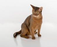Neugierige abyssinische Katze, die aus den Grund sitzt Getrennt auf weißem Hintergrund Stockfotografie