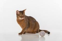 Neugierige abyssinische Katze, die aus den Grund sitzt Spielzeugball Bereiten Sie vor, um anzugreifen Getrennt auf weißem Hinterg Lizenzfreie Stockbilder