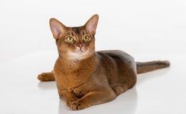 Neugierige abyssinische Katze Getrennt auf weißem Hintergrund Stockfotos