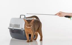 Neugierige abyssinische Katze, Kasten und weibliche Hand mit Spielzeug Getrennt auf weißem Hintergrund Lizenzfreie Stockbilder