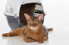 Neugierige abyssinische Katze und Kasten Getrennt auf weißem Hintergrund Stockfoto