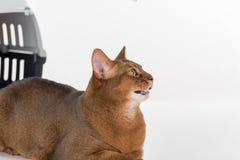 Neugierige abyssinische Katze und Kasten Getrennt auf weißem Hintergrund Lizenzfreie Stockfotos