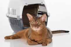Neugierige abyssinische Katze und Kasten Langes Heck Getrennt auf weißem Hintergrund Lizenzfreie Stockfotos