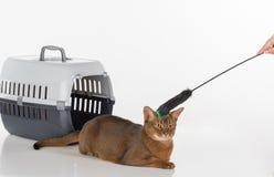 Neugierige abyssinische Katze und Kasten mit der Frauenhand und -spielzeug Getrennt auf weißem Hintergrund Lizenzfreies Stockbild