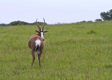Neugierige Antilope, die zurück schaut Lizenzfreie Stockfotos