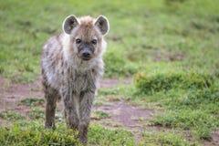 Neugierige Baby-Hyäne Lizenzfreies Stockbild