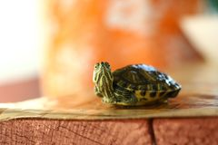 Neugierige Babyschildkröte lizenzfreies stockbild