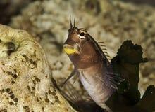 Neugierige Blicke bei den Malediven, dieser Fisch ist wie ein Mensch Stockfotos