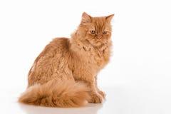 Neugierige britische langhaarige Cat Lying auf dem weißen Schreibtisch Gerade schauen Stockbilder