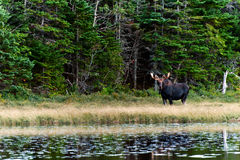 Neugierige Elche im Wald nah an See Lizenzfreies Stockfoto