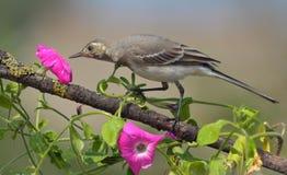 Neugierige Geruche der weißen Bachstelze einer magentaroten Blume lizenzfreies stockfoto