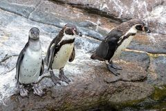 Neugierige Humboldt-Pinguine stockfotos