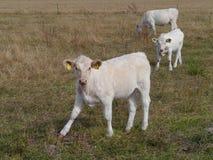 Neugierige Kühe Stockfotografie