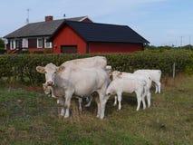 Neugierige Kühe Lizenzfreies Stockbild