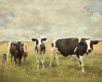 Neugierige Kühe Stockfoto