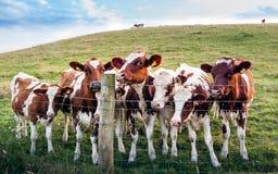 Neugierige Kühe der freundlichen Nachbarschaft kommen, auf dem Hügel hinter dem Kricketclub am weißen Unterholz im Chorley zu grü stockfotos