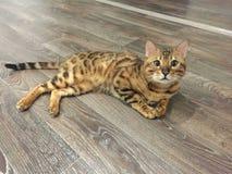Neugierige Katze Bengals, die auf dem Boden liegt stockfotos