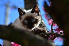 Neugierige Katze, die durch die Niederlassungen eines Kirschbaums aufpasst Lizenzfreies Stockfoto