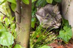 Neugierige Katze mit dem langen Haar im Freien in einem Garten unter der Hecke, sibirisches reinrassiges Kätzchen lizenzfreie stockbilder