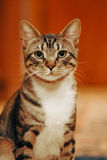 Neugierige Katze mit den aufgerichteten Ohren Stockbild