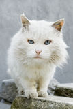 Neugierige Katze mit intensiven blauen Augen Lizenzfreies Stockbild