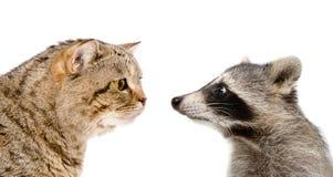 Neugierige Katze schottischer gerader und lustiger Waschbär Stockfotos