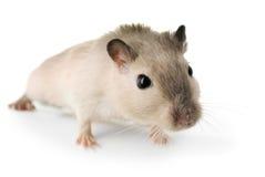 Neugierige kleine Maus Lizenzfreie Stockbilder