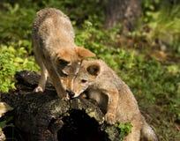 Neugierige Kojote-Welpen Lizenzfreies Stockbild