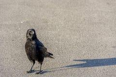 Neugierige Krähe in Lausanne, Switserland Stockfotografie