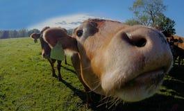 Neugierige Kuh lizenzfreie stockfotos