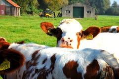 Neugierige Kuh Lizenzfreies Stockfoto