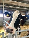 Neugierige Kuh lehnt sich über Metallsperre lizenzfreie stockfotos
