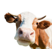 Neugierige Kuh, lokalisiert auf weißem Hintergrund Lizenzfreie Stockbilder