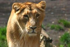 Neugierige Löwin lizenzfreies stockfoto