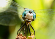 Neugierige Libelle lizenzfreie stockfotos
