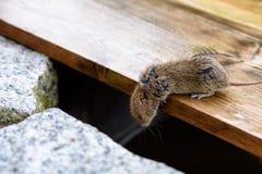 Neugierige Maus, die hinunter einen dunklen Abgrund im Garten schaut Stockfotografie