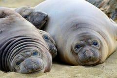 Seeelefant, neugeborene Welpen oder Kinder, die auf dem Sandschauen liegen, Stockfotografie